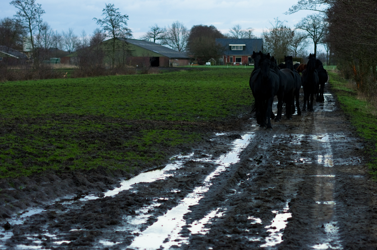 wandelende paarden in lijn in het noorden van nederland, friesland door Jeffrey Wakanno zwarte frieze paarden friese fryske hynders