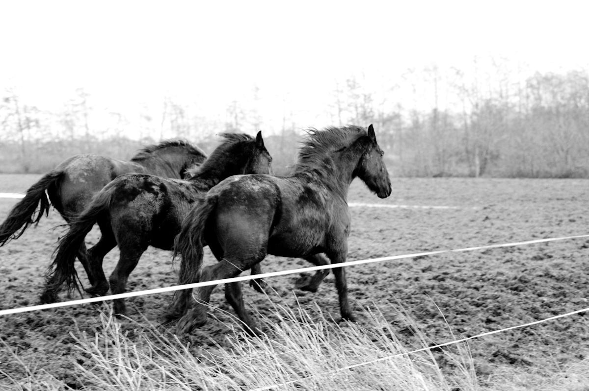 Frieze paarden in gallop door Jeffrey Wakanno zwart wit en black and white photography fotografie - hoe meer sleutelwoorden hoe beter!